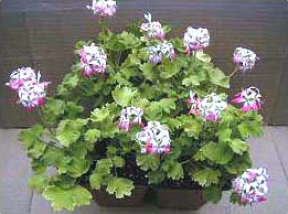 PEPPERMINT STAR STELLAR GERANIUMS
